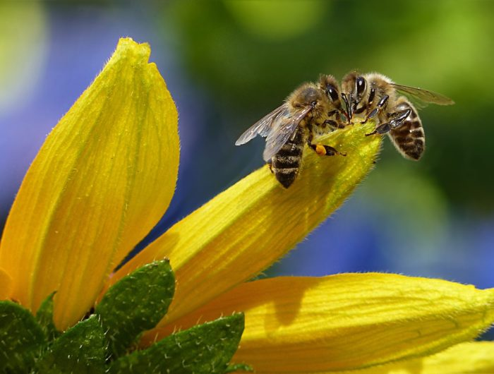 La coalition Save the Bees regroupant 80 organisations demande l'interdiction des néonicotinoïdes